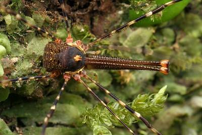 Harvestmen - Opiliones