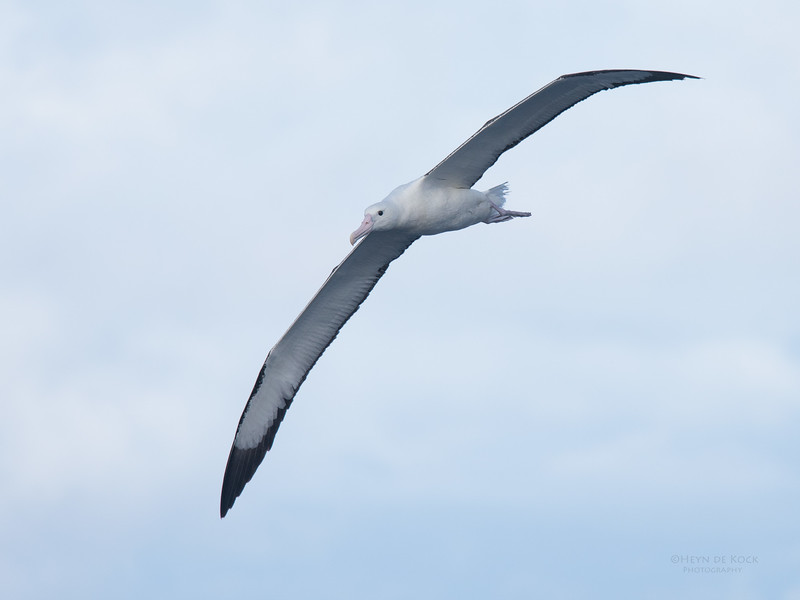 Northern Royal Albatross, Eaglehawk Neck Pelagic, TAS, May 2016-1.jpg