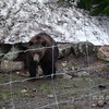 73 Grouse Mtn's Grizzly - Vancouver