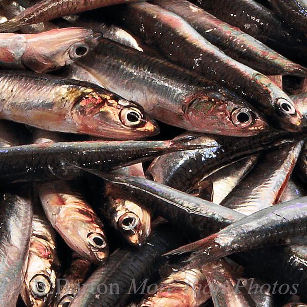 Anchovies Fish Market