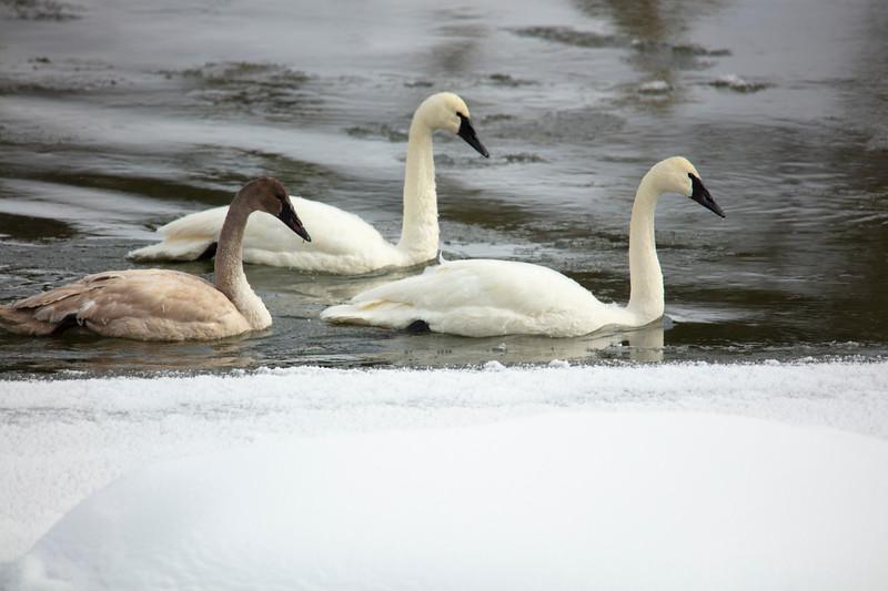 387A9722 Two swans & cygnet.jpg