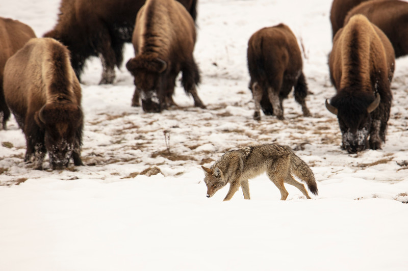 387A9877 Coyote with bison cropped.jpg