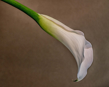 """""""Calla lily #16"""" (photography) by John Diephouse"""