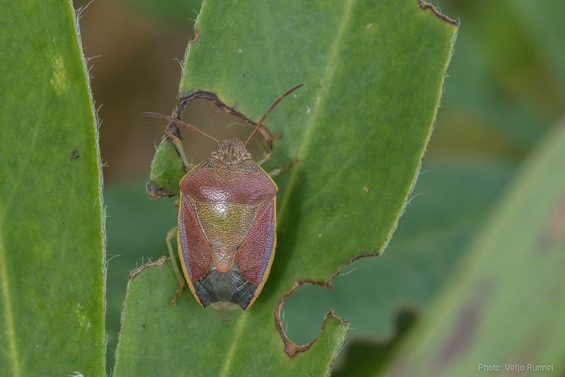 Piezodorus lituratus