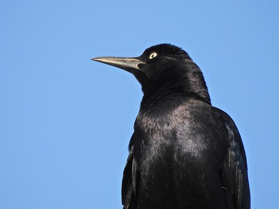 12.27.2020_Great-Tailed Grackle