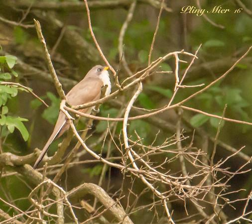 Yellow-billed Cuckoo_DWL1320.jpg