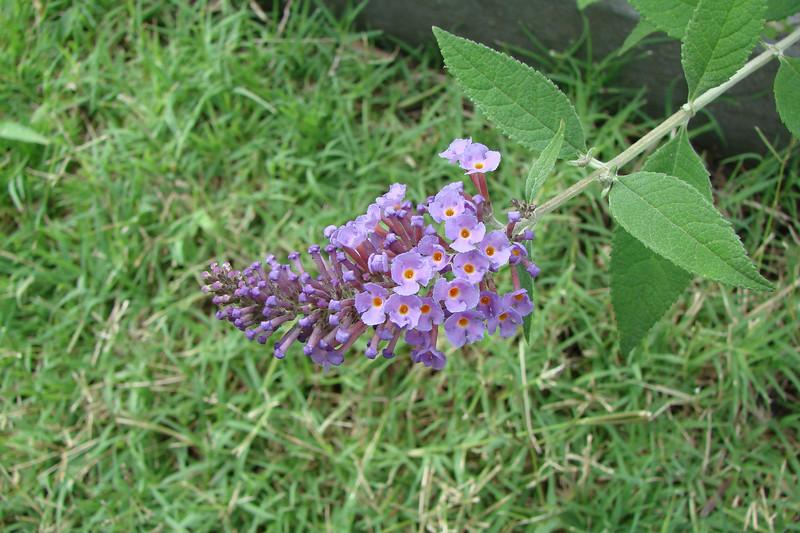 Buddleia davidii / Nanho Purple Butterfly Bush (semi-evergreen shrub) 6/20/07