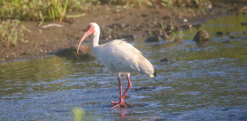 Tropical ibis Bird in a river in Costa Rica