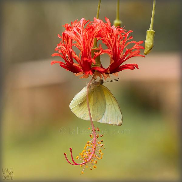 Lemon Emigrant - Catopsilia pomona.jpg