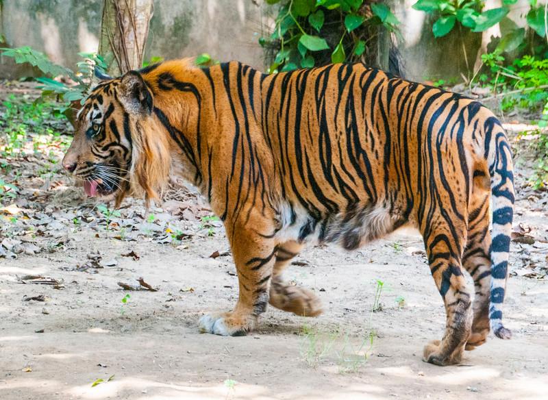 Bali Zoo_Tiger-3.jpg