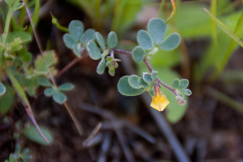 Some kind of native lotus--deervetch?