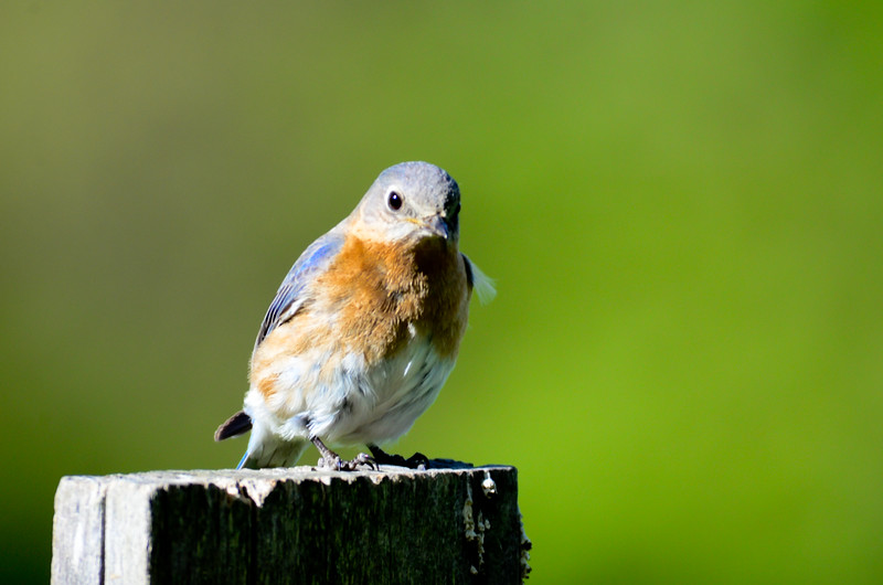 ryle-irwin-bluebird-on-post-chillicothe-ohio-green-background.jpg