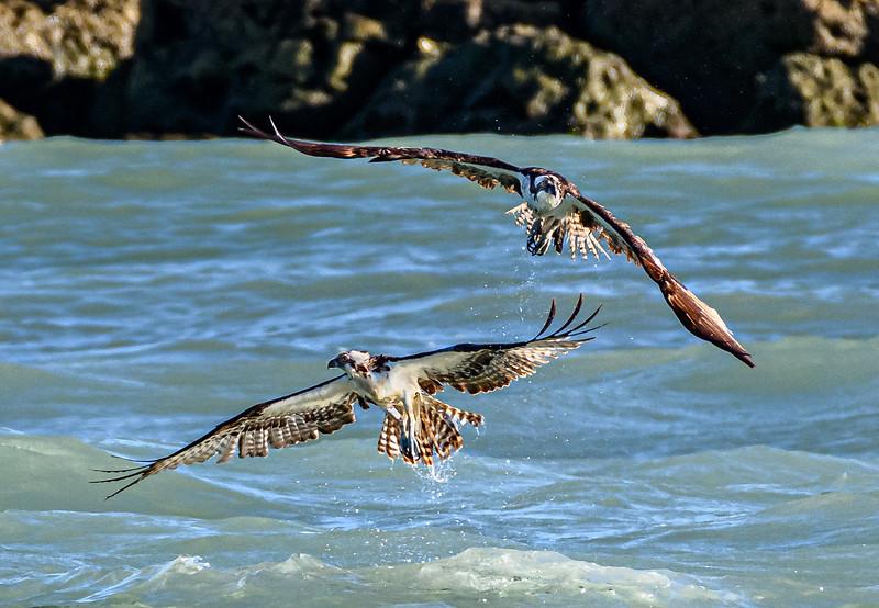 Pair of Osprey