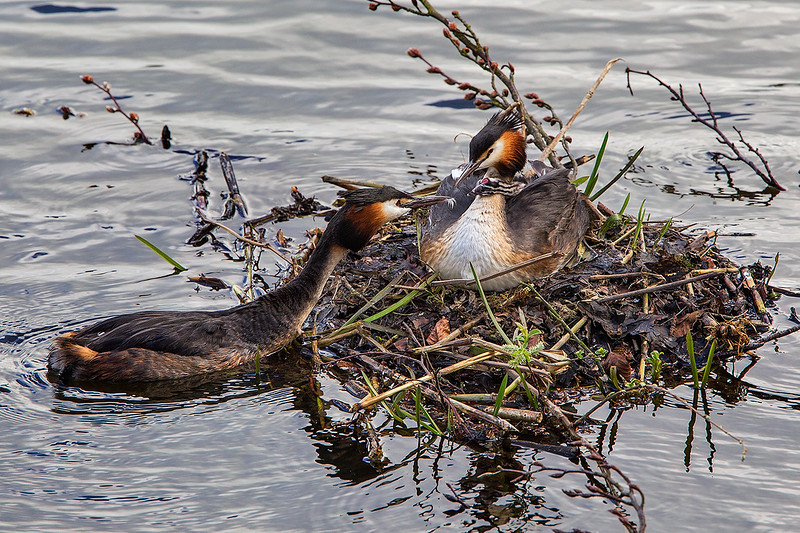 Great Crested Grebe offering Feather to Chick