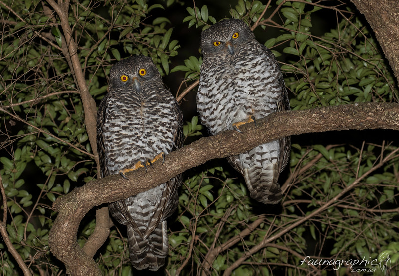 Powerful Owl Pair