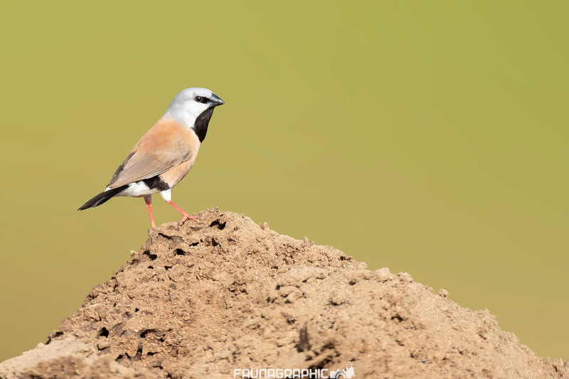 Black-throated Finch