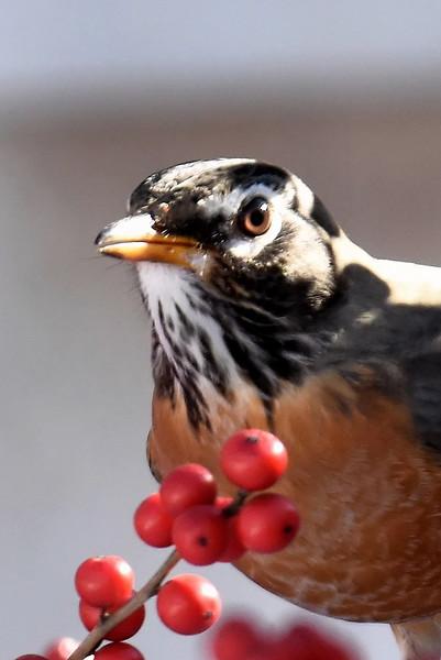 #1253  American Robin amidst Winterberries