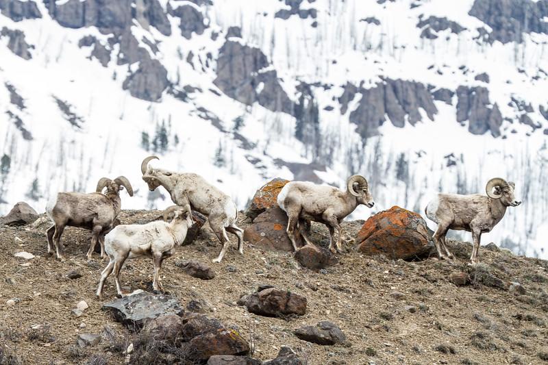 Bighorn rams bachelor herd near Soda Butte Yellowstone National Park WY IMG_6759.jpg