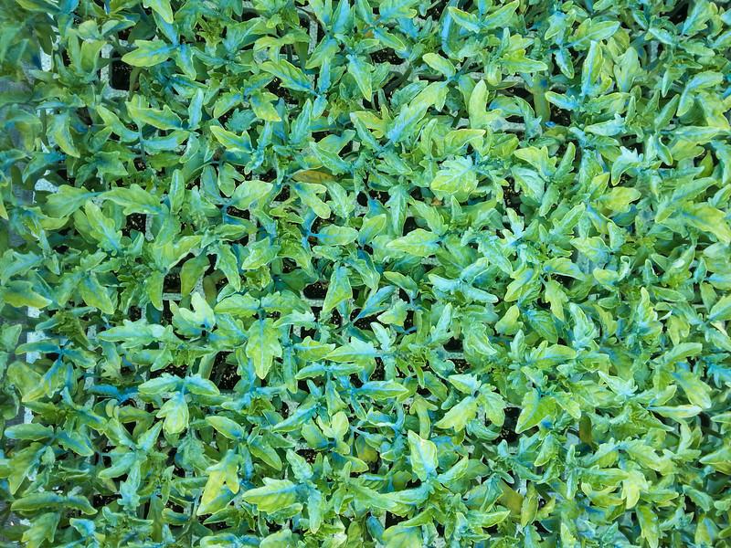 calemone plants 7.jpg