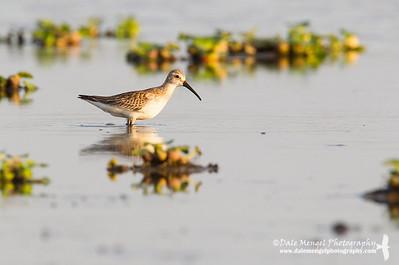 Shorebirds (Waders)