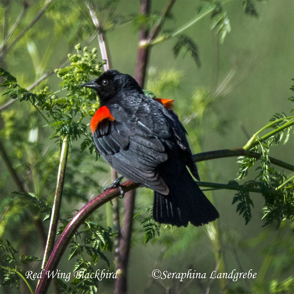 _DSC4211RedWing Black bird.jpg