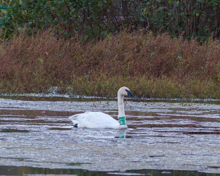 20161104-BoxleyValley-Swan-1.jpg