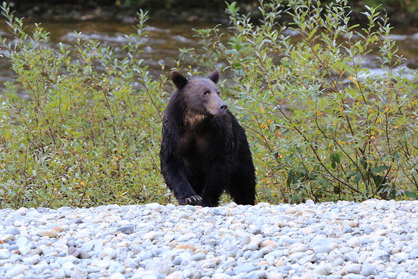 Brown Bears at Great Bear Lodge BC 2014