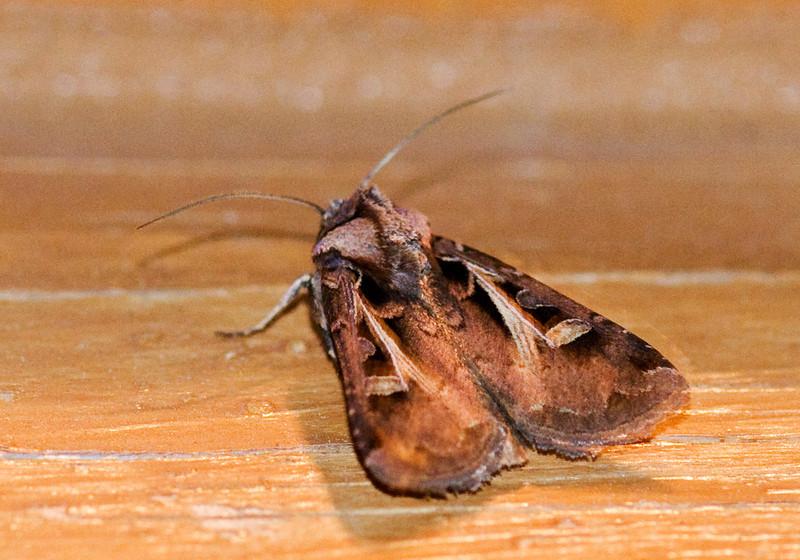 Dart - Master's - (Feltia herilis) - Dunning Lake - Itasca County, MN