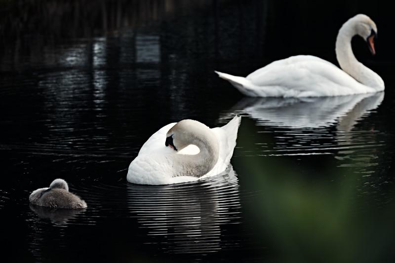 Swans_Of_Castletown023.jpg