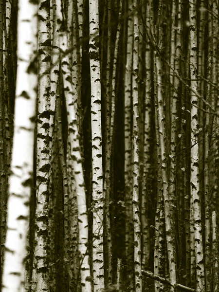 #8 'Birches' by Mick_Finn. 10/06/07. Olympus E-330.