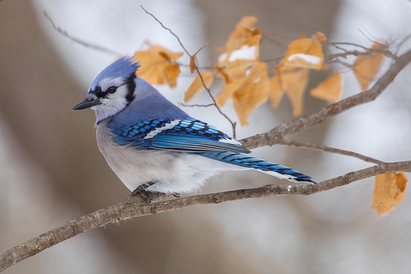 Jays, Waxwings and Juncos