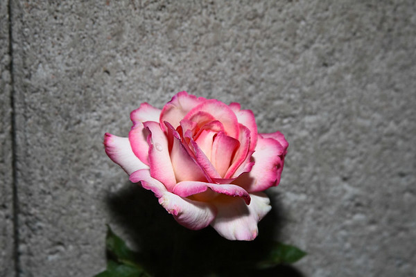 2006 Roses