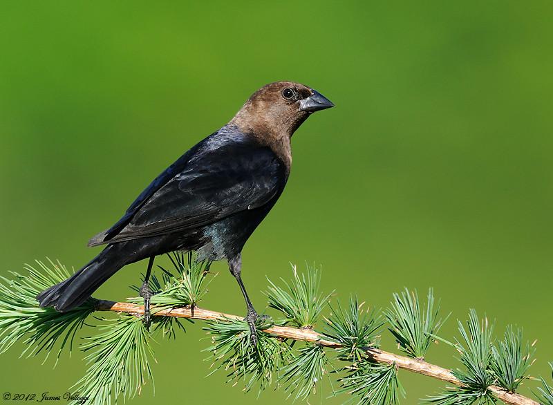 Brown-headed Cowbird, Molothrus ater