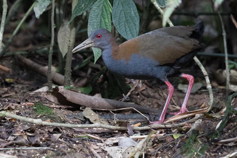 19-Sept Brazil Birds-8631.JPG