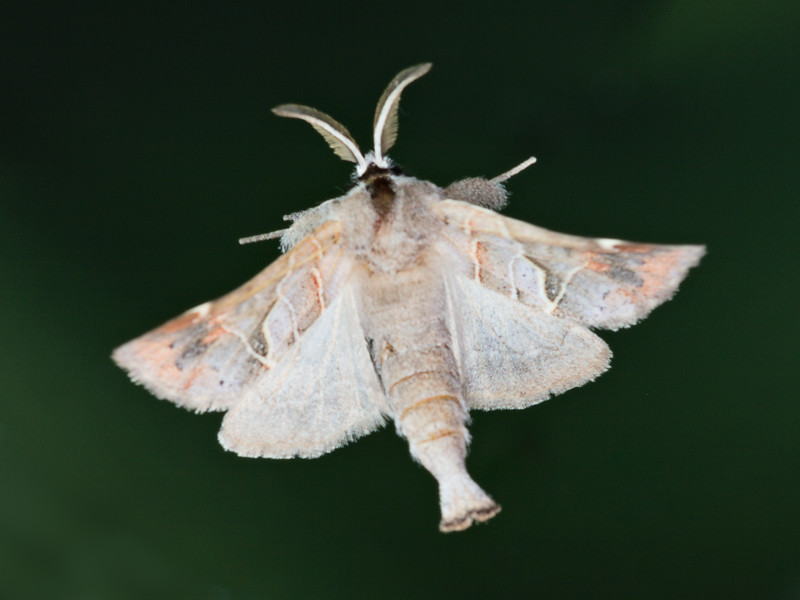 Apical Prominent Moth