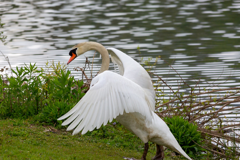 mute swan_-8.JPG