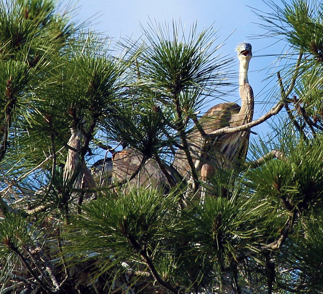 High in a tree by the Inland Waterway -- a nest with Juvenile Great Blue Herons.