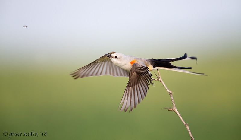 Scissor-tailed Flycatcher and Bug