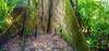 Big Tree in the Amazon