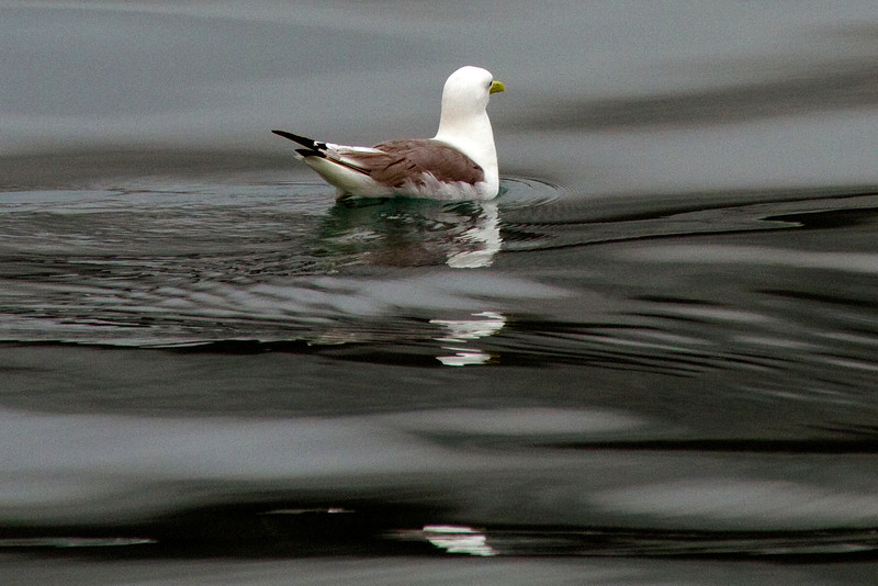 Black-legged kittywake in Aialik Bay, Alaska