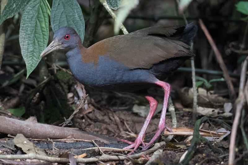 19-Sept Brazil Birds-8612.JPG