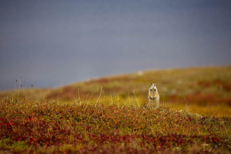 Toolik-arctic-ground-squrrel 1742.jpg