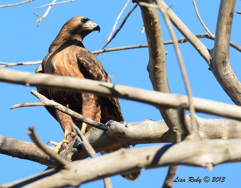 Red-Tailed Hawk Intermediate Morph - 12/30/13 - San Pasqual Valley Trail