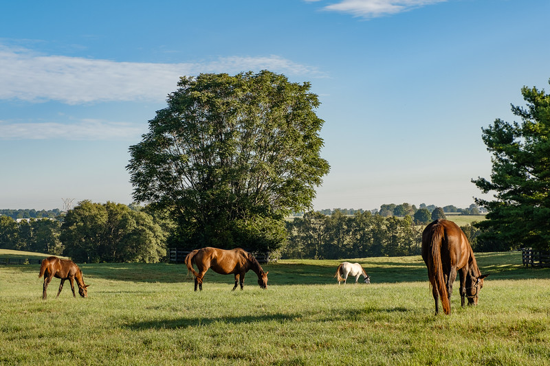 Thoroughbreds, Early Morning Grazing, Lexington Kentucky