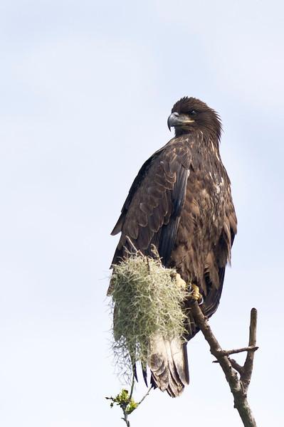 Juvenile Bald Eagle Lake Marion Kenansville, Florida © 2012