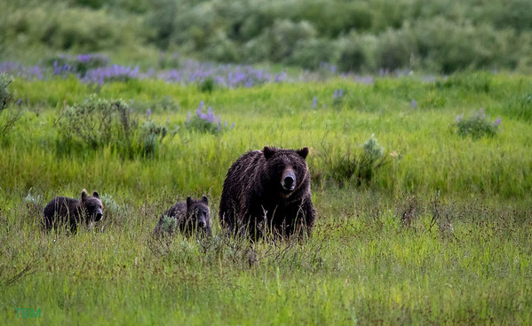 Grizzly Bear / Brown Bear