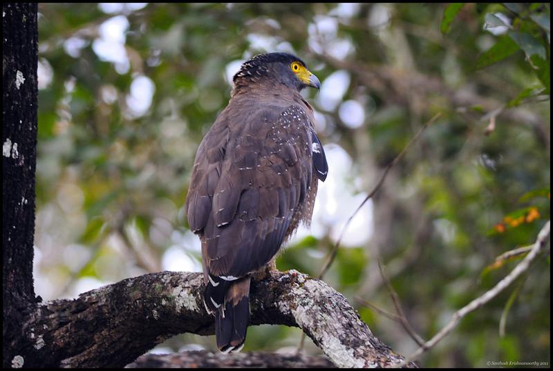 Intense....Crested Serpent Eagle (CSE)