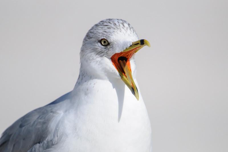 Gull - Ring-billed - Gulf Beach State Park - AL