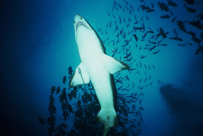 Sand Tiger Shark from Below, Off Morehead City, NC