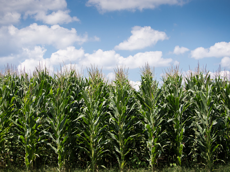 Health Sweet Corn Growing in the Countryside